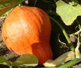Посадка тыквы и выращивание: полив тыквы и уход в открытом грунте