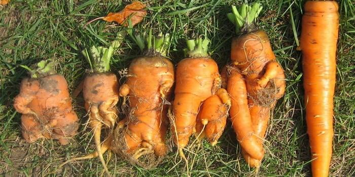 Различные болезни моркови и борьба с