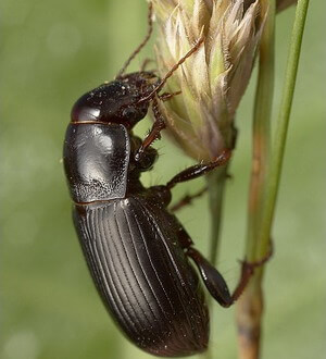 фото жужелица жук