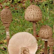 съедобные грибы хабаровского края фото и описание