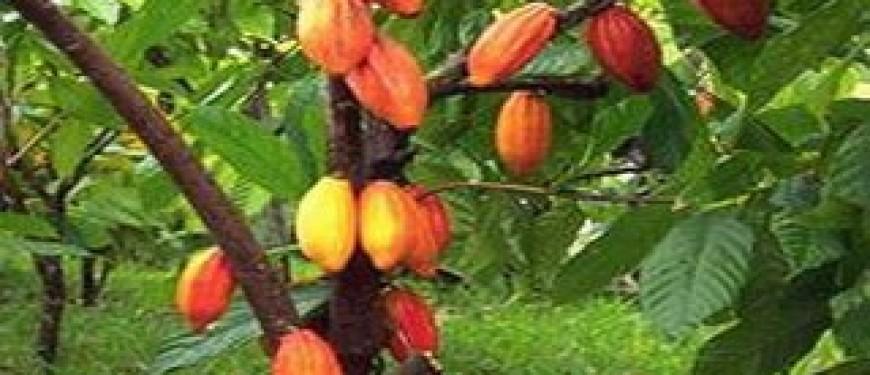 Какао дерево доклад для детей 6871