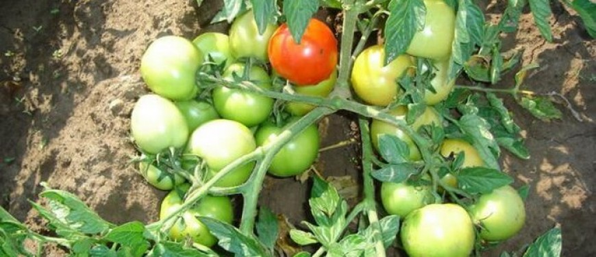 сорта семян томатов фото