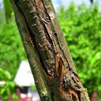 Болезни садовых яблонь: фотографии, видео, описание признаков, лечение деревьев, обработка для профилактики