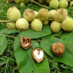 Как посадить маньчжурский орех - формирование кроны, обрезка, уход