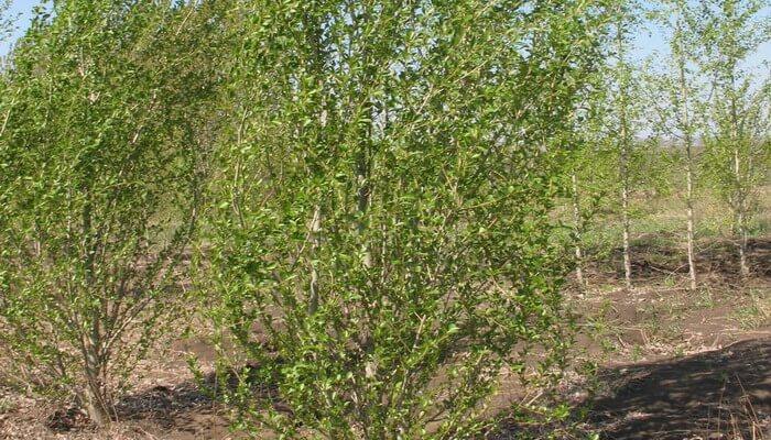 Дерево тополь пирамидальный- фото видов, размножение, посадка, применение